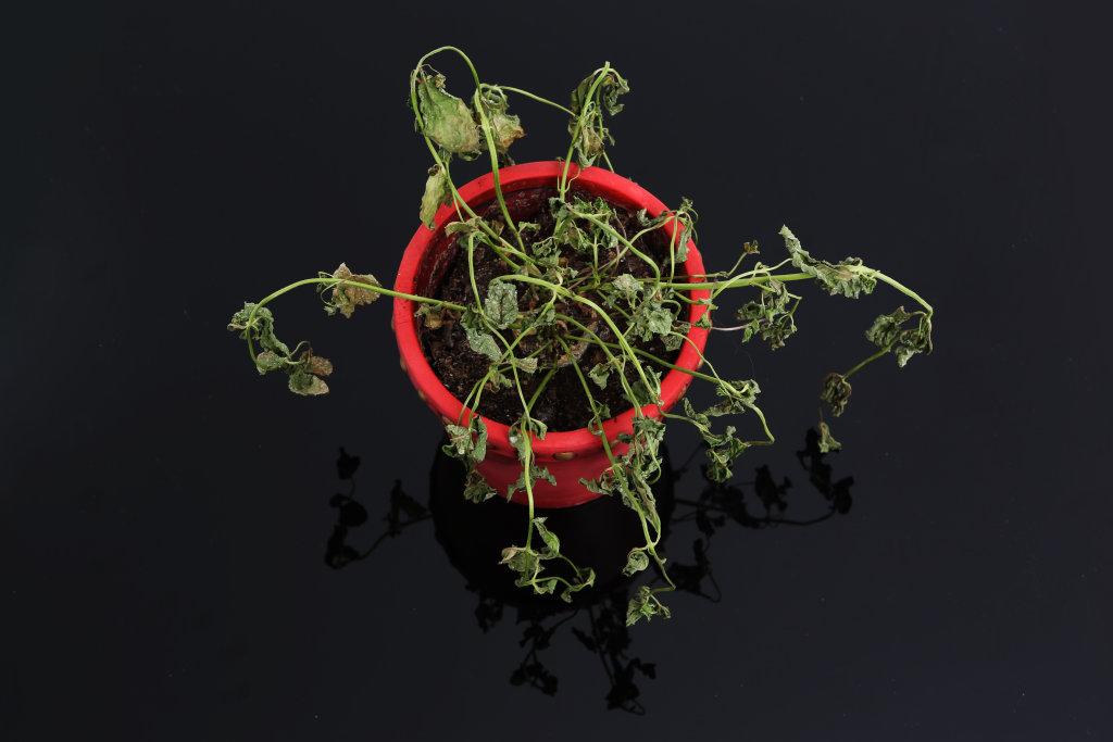Vertrocknete Pflanze III