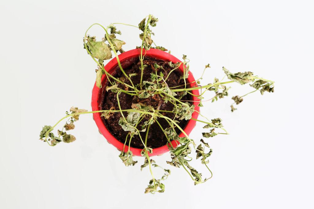 Vertrocknete Pflanze IV