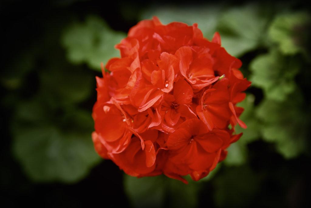 rote Gartenblume