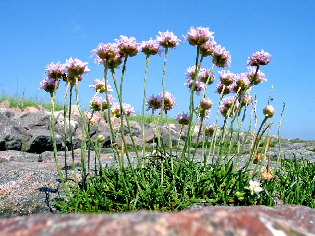 Blume Nordsee Strand