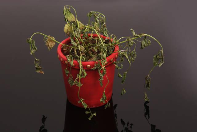 Vertrocknete Pflanze I