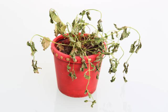 Vertrocknete Pflanze II