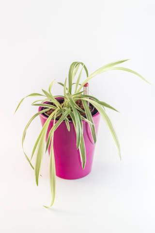 Grünlilie in pinkem Topf