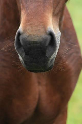 Pferdenase