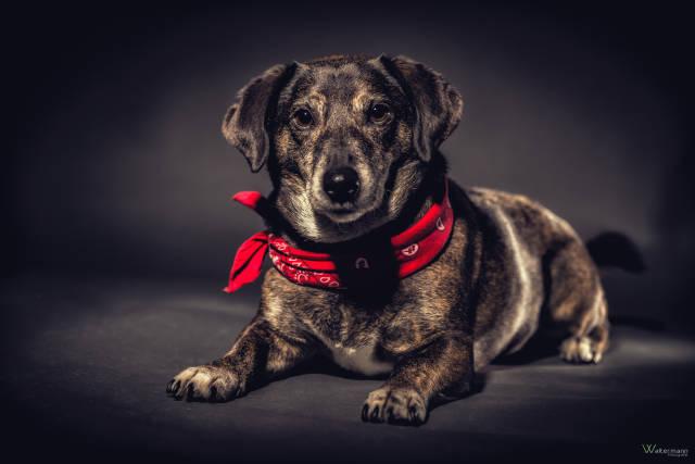 Hund mit Halstuch