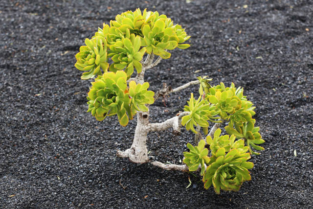 Wüstenpflanze