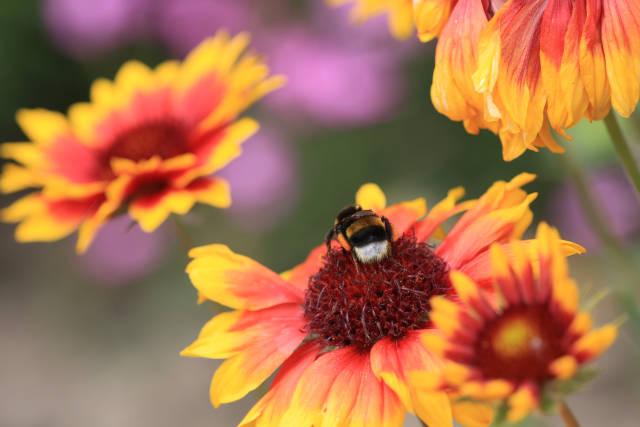 Hummel auf einer Blüte
