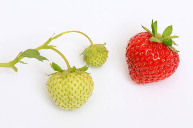 Erdbeeren - reif und unreif
