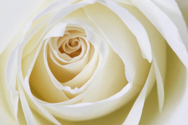 Rose zur Hochzeit