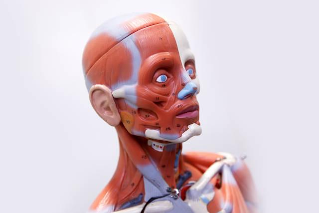 menschliche Muskeln