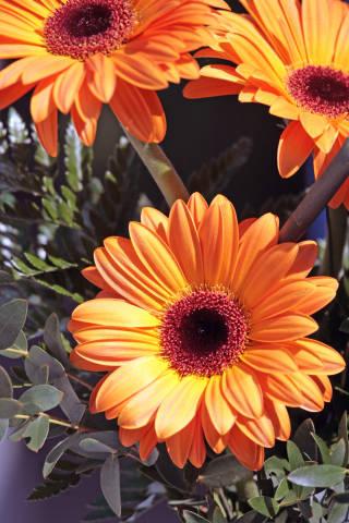 Blumen Gerbera
