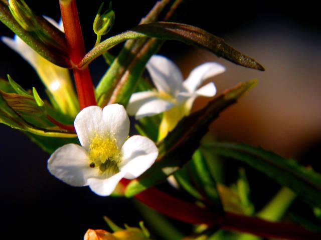 Wasserpflanze Blüte