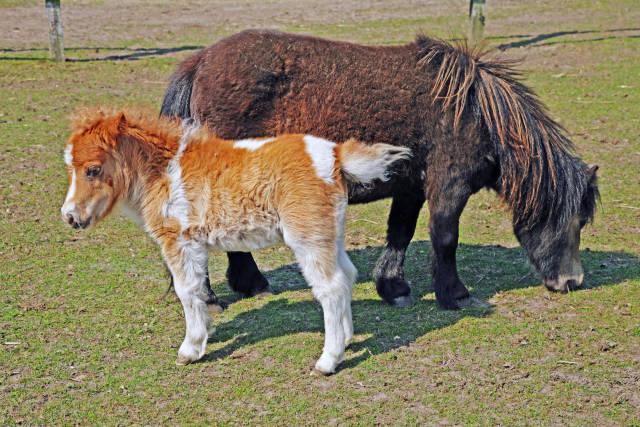 Shettland Pony