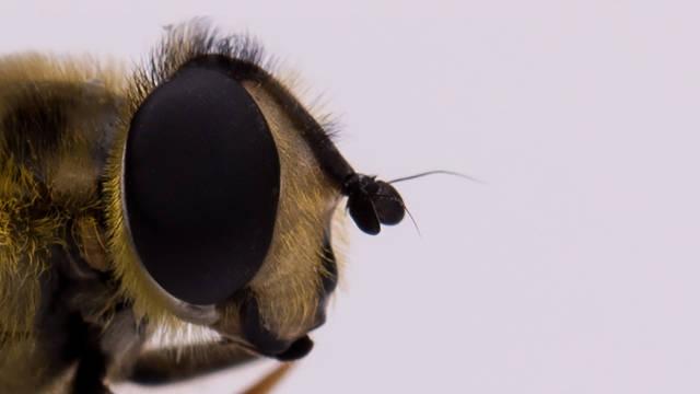 Auge einer Biene
