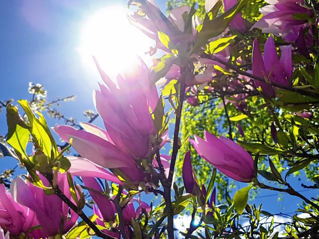 Magnolien im gegenlicht