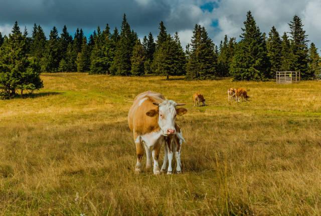 Cows outside