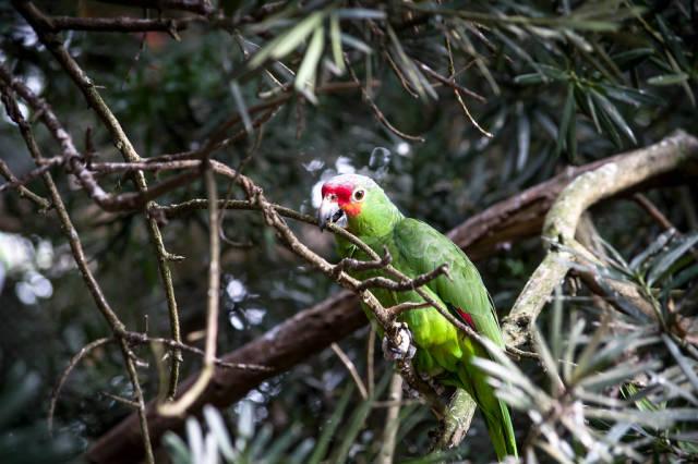 Auf deutssch übersetzen => Red-lored amazon parrot perched on tree