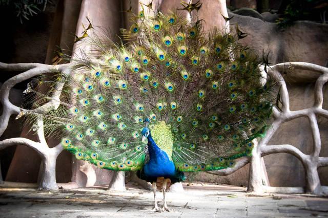 Auf deutssch übersetzen => Peacock dance display