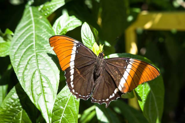 Auf deutssch übersetzen => Brown and orange butterfly on leaves