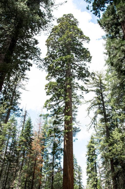 Ein Riesenmammutbaum in einem Wald