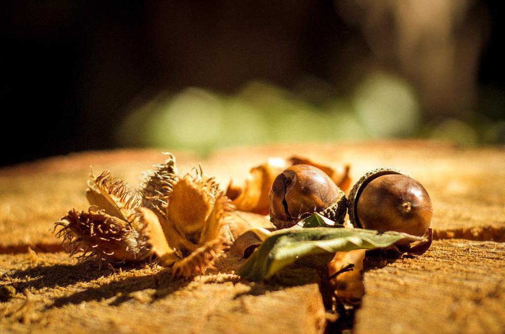 Acorns on wood