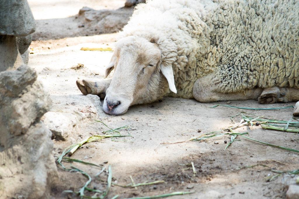 Sheep sleeping