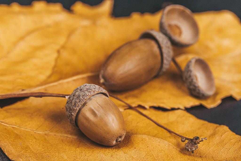Acorns on dry autumn leaves