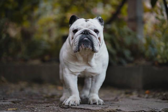 Weiße Bulldogge im Hof