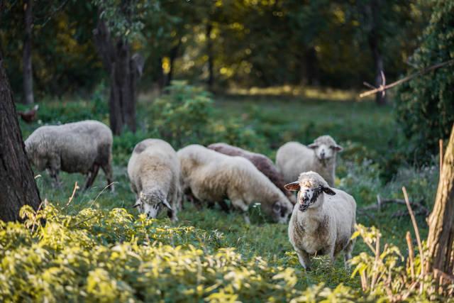 Eine Schafherde im Wald