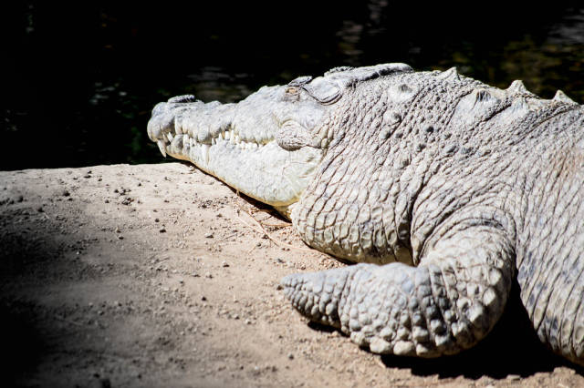 Sunbathing alligator