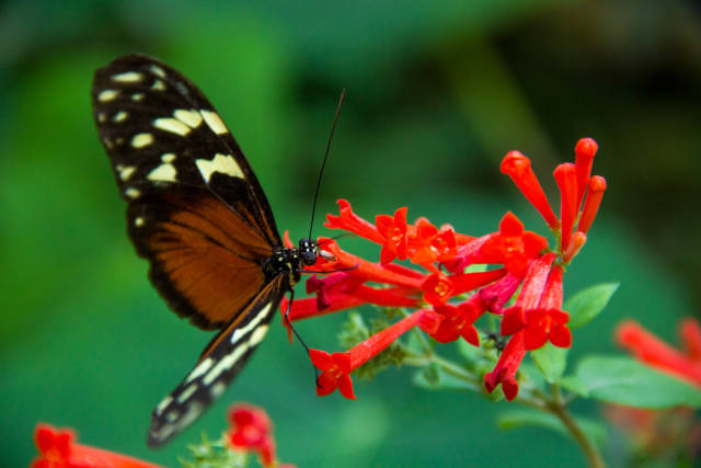 An Orange Butterfly Pollinating