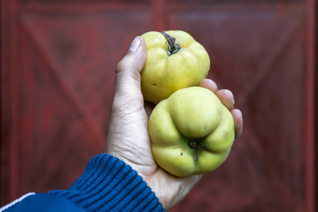 Close up on a Hand Holding Two Quinces