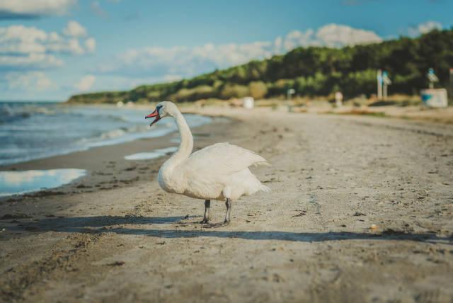 White Swan In Beach