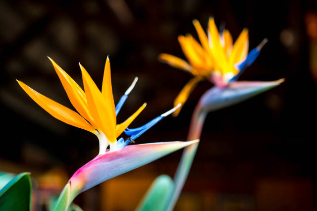Two bird of paradise flowers
