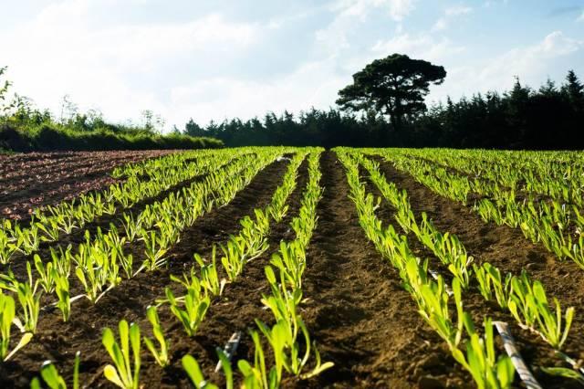Gemüseplantage mit in Reihen angeordneten Pflanzenbeeten mit jungem Kopfsalat