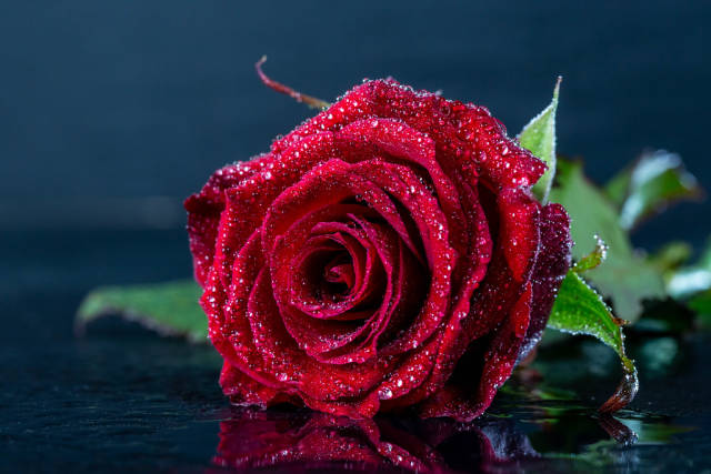 One red rose bud close up macro with water drops