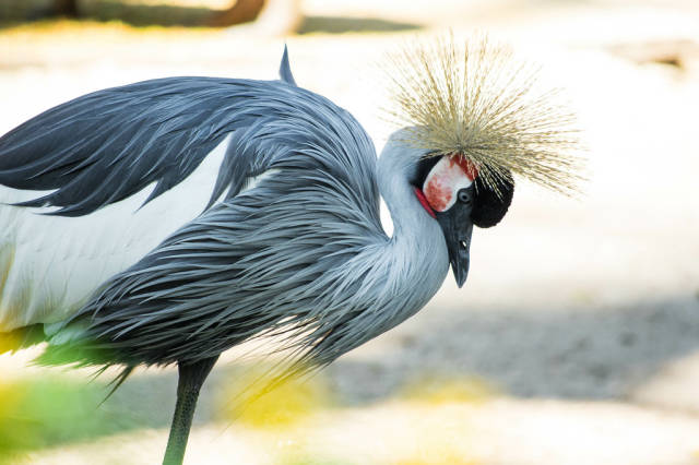 Grey crowned crane looking down