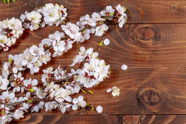 Sprigs of a apricot with flowers on wooden background (Flip 2019)