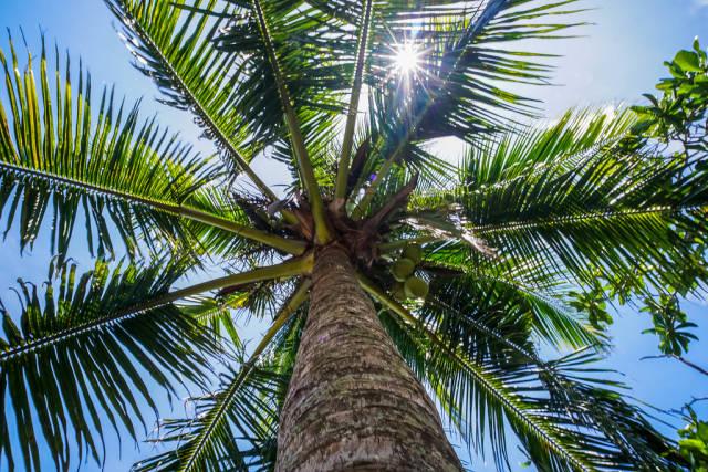 Sunlight peeking through coconut leaves