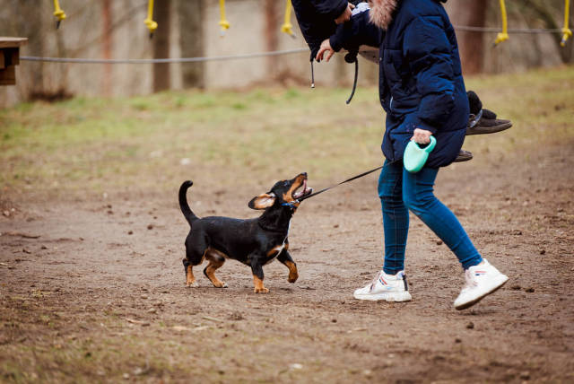 Dachshund  Playing Outdoors With Girl