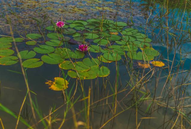 Lake of Water Roses