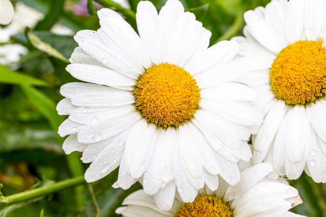 Chamomile flowers with drops of water on the white petals after rain