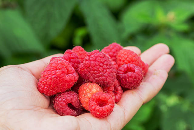 Fresh raspberries in a womans hand