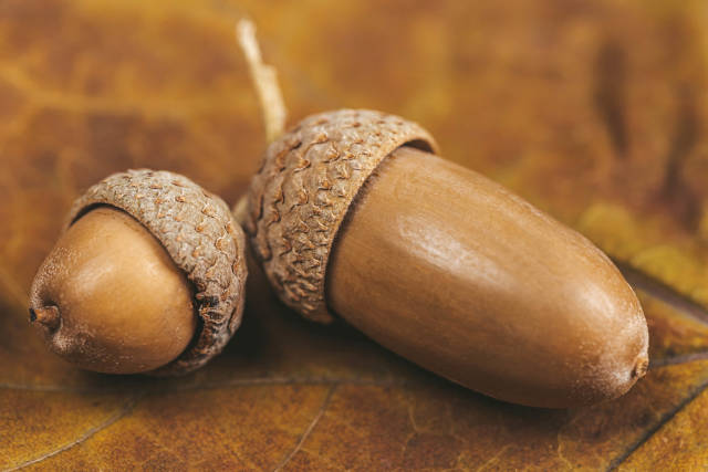 Close-up, acorns on dry yellow leaf