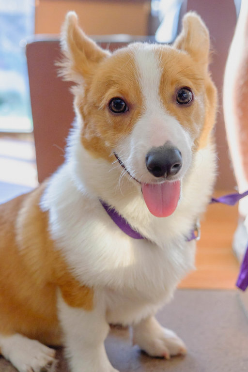 An energetic corgi looking directly at the camera