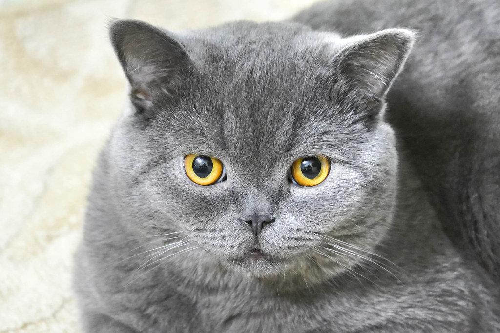 Graue Scottish Katze