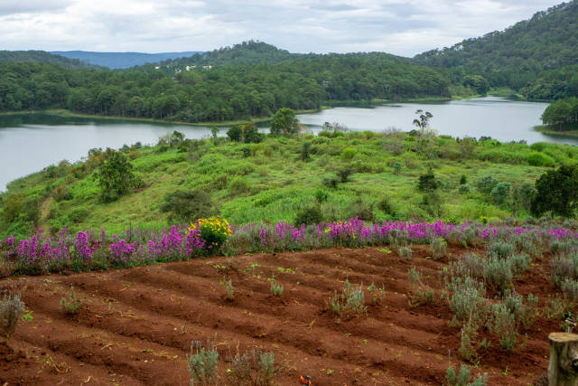 Lavender Fields with Purple New York Aster and Lake in the Background