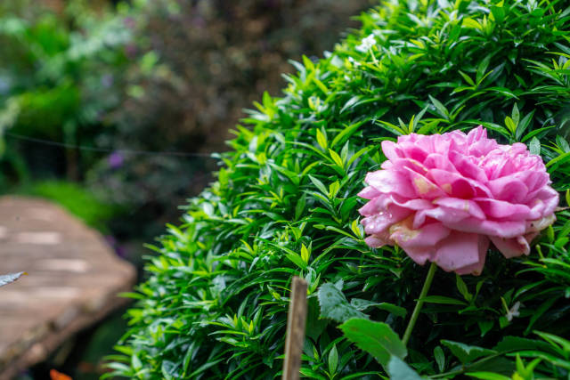 Close Up Photo of Peony Flower with Plants and Pond in the Background