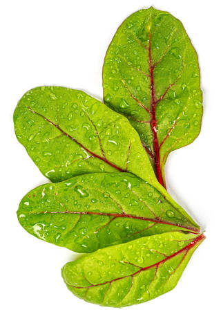 Fresh beet leaves with water drops