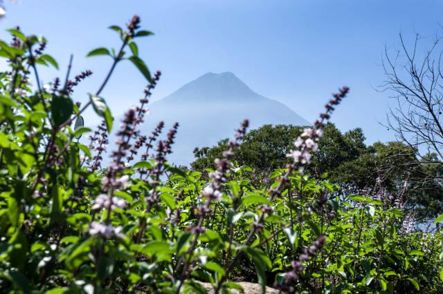 View of Volcan de Agua behind purple flowers